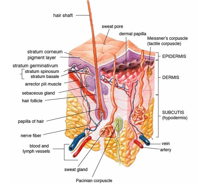Epidermis - Skin Care